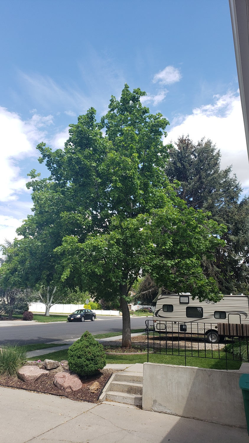 Timber Ridge Tree Service Tree Pruning After