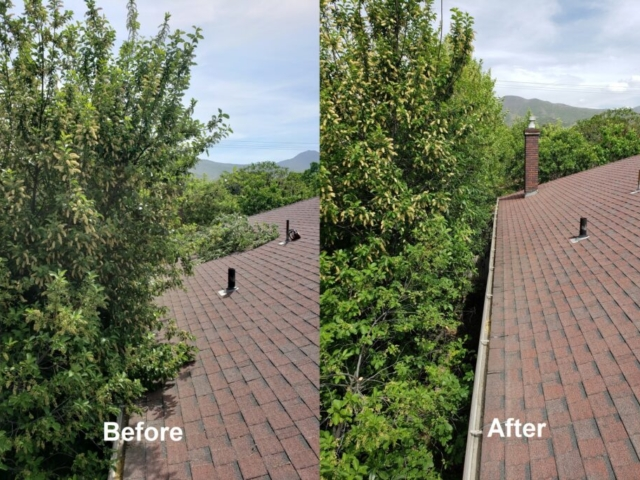 Timber Ridge Tree Service Tree Trimming Services Before & After Salt Lake City, Utah